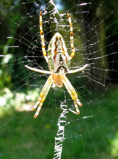 WHITE SPIDER B