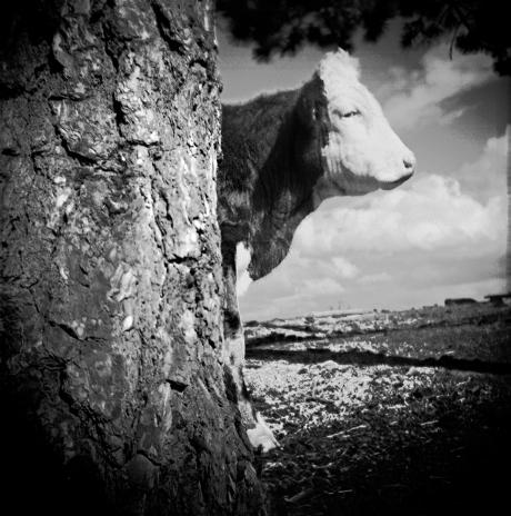 COW TREE 2